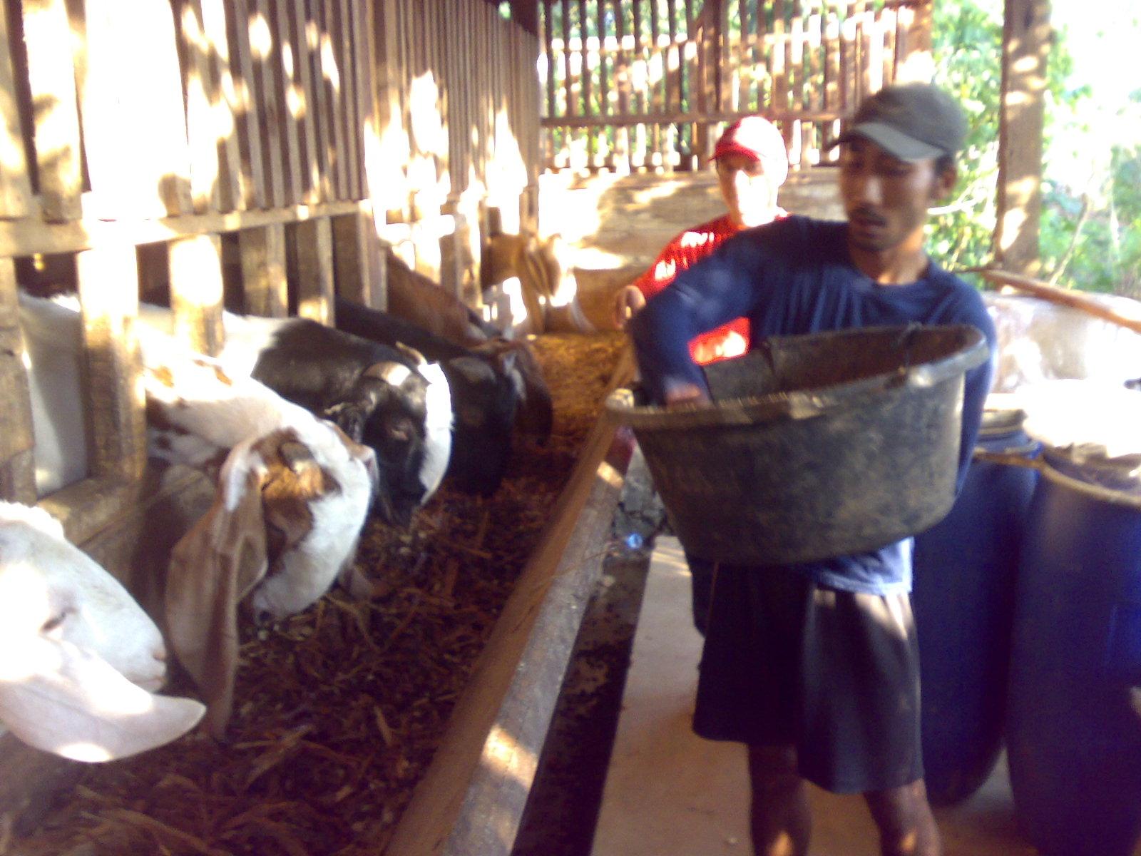 Pakan fermentasi kambing atau domba, sering di sebut Complete feed